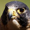 Peregrine Falcon Portrait by Sue Harper