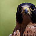 Peregrine Falcon - Stare by Sue Harper