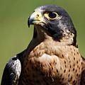 Peregrine Falcon by Sue Harper