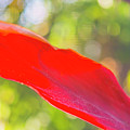 Red Ti Leaves 08 by Gene Norris