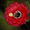 Red Torch Cactus-echinopsis  by Saija  Lehtonen