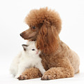 Red Toy Poodle And Kitten by Mark Taylor