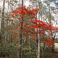 Red Tree by Todd A Blanchard