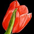 Red Tulip by Carol Blackhurst