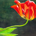 Red Tulip by Catherine G McElroy