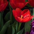 Red Tulip by Darleen Stry
