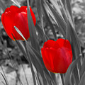 Red Tulip Duo by Lisa Hebert