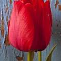 Red Tulip by Garry Gay
