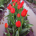 Red Tulip Row by Kami McKeon