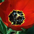Red Tulip by Scenic Sights By Tara