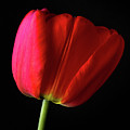 Red Tulip by Shawn O'Neill