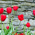 Red Tulips by Helen Northcott