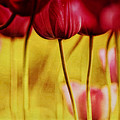 Red Tulips by Iris Greenwell