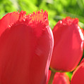 Red Tulips  by Lyle Crump