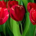 Red Tulips by Margaret Wingstedt