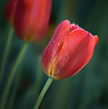 Red Tulips by Nikolyn McDonald
