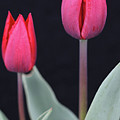 Red Tulips by Norman Saagman