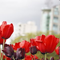 Red Tulips by Wilko Van de Kamp