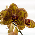 Red Veined Orchid by Kirt Tisdale