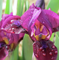 Red Violet Iris by MTBobbins Photography