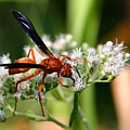 Red Wasp On Lace by Kristin Elmquist