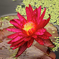 Red Water Lily by Terri Morris