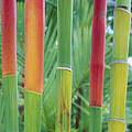 Red Wax Palm Stalks by Ron Dahlquist - Printscapes