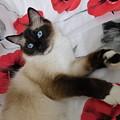 Red White And Ragdoll Kitty Cat Silktapestrykittenstm  by Pamela Benham