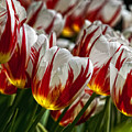 Red White And Yellow Tulips by Robert Ullmann