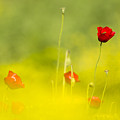 Red Wild Poppies by Alon Meir