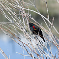 Red Winged Black Bird At Chatfield by Steve Krull