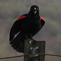 Red Winged Black Bird by Donna Brown