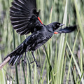 Red Winged Blackbird-06 by Paul Vitko
