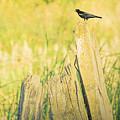 Red-winged Blackbird by Bonnie Bruno