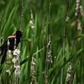 Red-winged Blackbird Calling by  Onyonet  Photo Studios