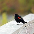 Red Winged Blackbird by Cynthia Guinn