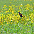 Red-winged Blackbird In Wild Mustard by Mother Nature