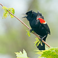 Red-winged Blackbird by Jim Zablotny