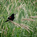 Red-winged Blackbird by LeAnne Perry
