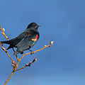 Red-winged Blackbird On Blue by Randall Ingalls