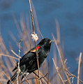 Red-winged Blackbird On Cattail  by Randall Ingalls