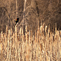 Red Winged Blackbird On Cattails by Cary Leppert