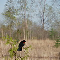Red-winged Blackbird by Peggy King