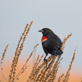 Red-winged Blackbird by Phillip McNeil