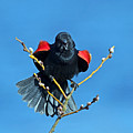 Red-winged Blackbird by Randall Ingalls
