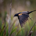Red Winged Blackbird by Randy Hall