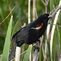 Red-winged Blackbird by Wendy Fox