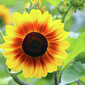 Red Yellow Sunflower by Cynthia Guinn