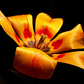 Red-yellow Tulip 1 by Parker Bradley