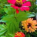 Red Yellow Zinnia Flowers by Debra Lynch